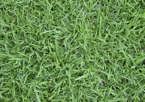 Cesped kikuyo campos de moreno for Tipos de cesped para jardin
